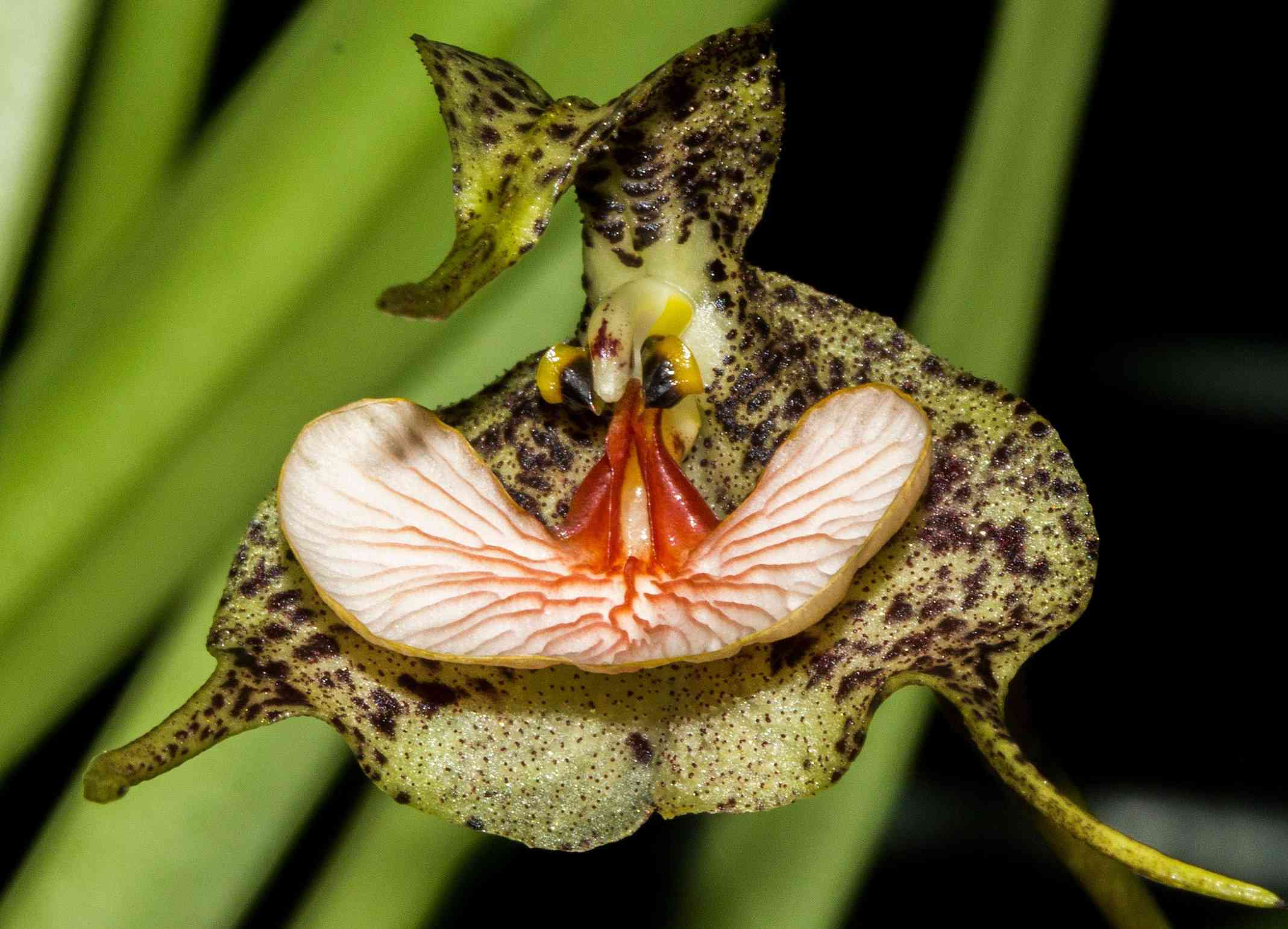 close up of orchid Dracula chestertonii, which looks like it has two black eyes and a wide white tongue lined with red veins, the petals yellow with brown spots