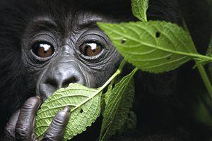 Baby Mountain Gorilla, North West Rwanda