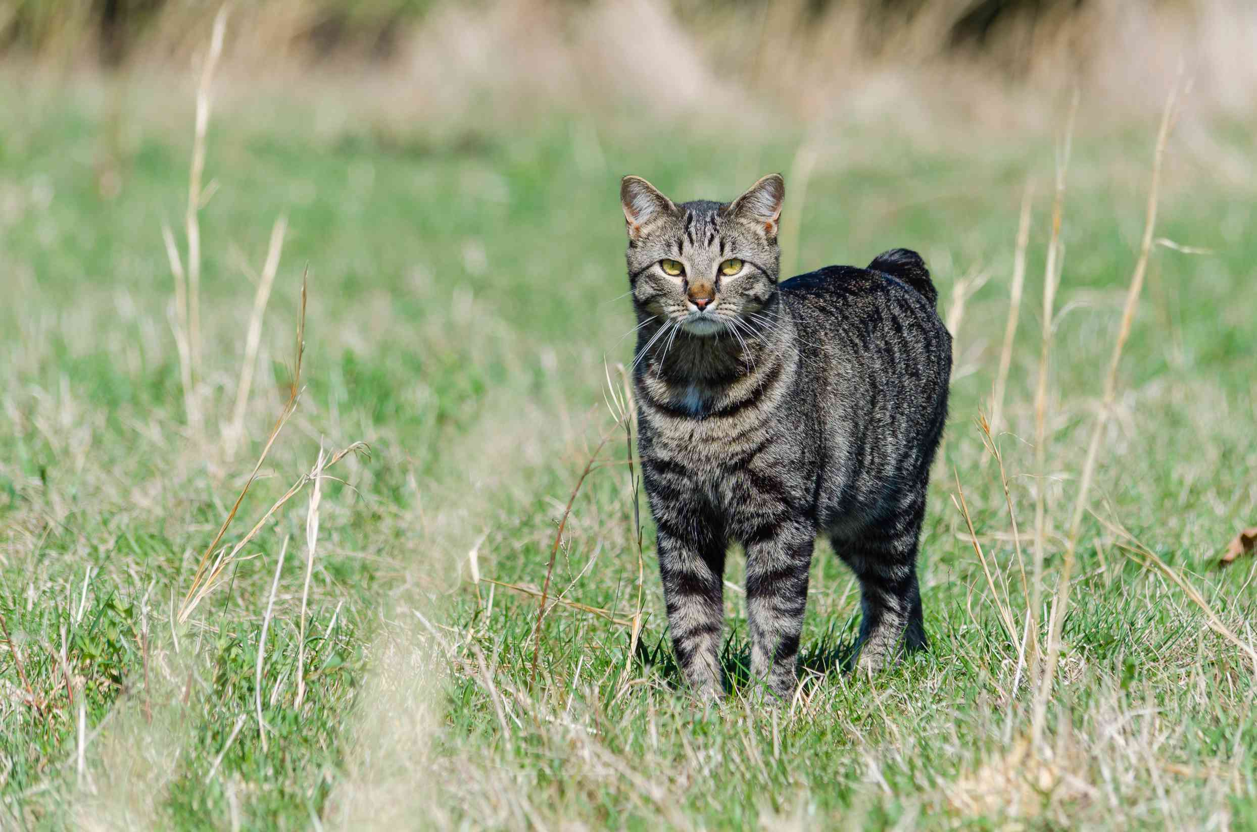 tabby-colored Manx cat standing in a field