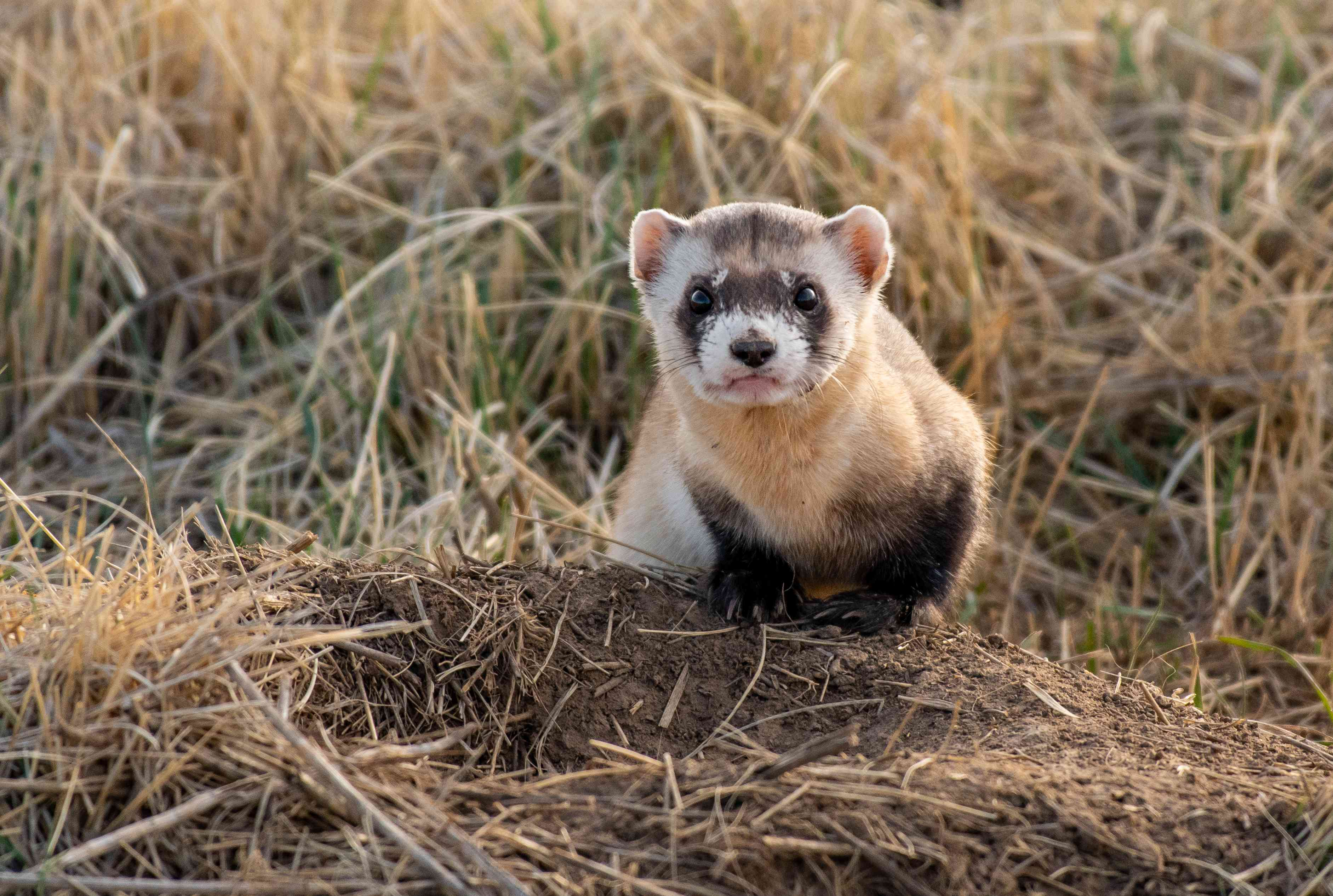 A Federally Endangered Black-footed Ferret on the Plains