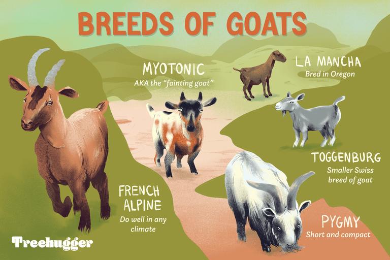 breeds of goats illo