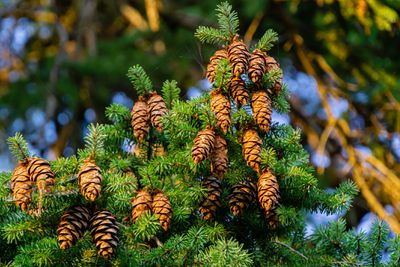 Detailed shot of Douglas fir cones and bright green needles.