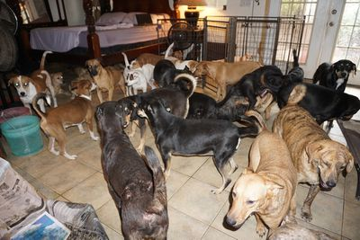 Dogs sheltering in a rescue home during Hurricane Droian