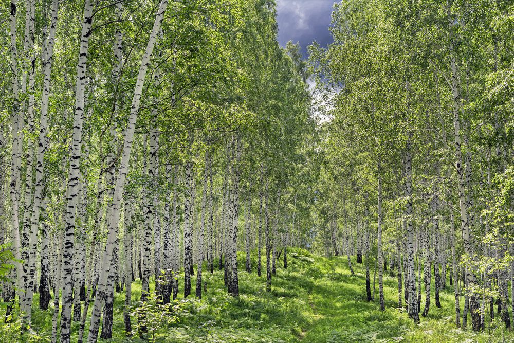 More Trees Than There Were 100 Years Ago? It's True!