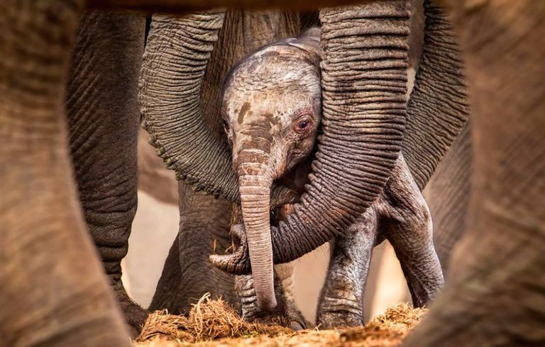 Baby elephant standing among adult elephant legs and trunks