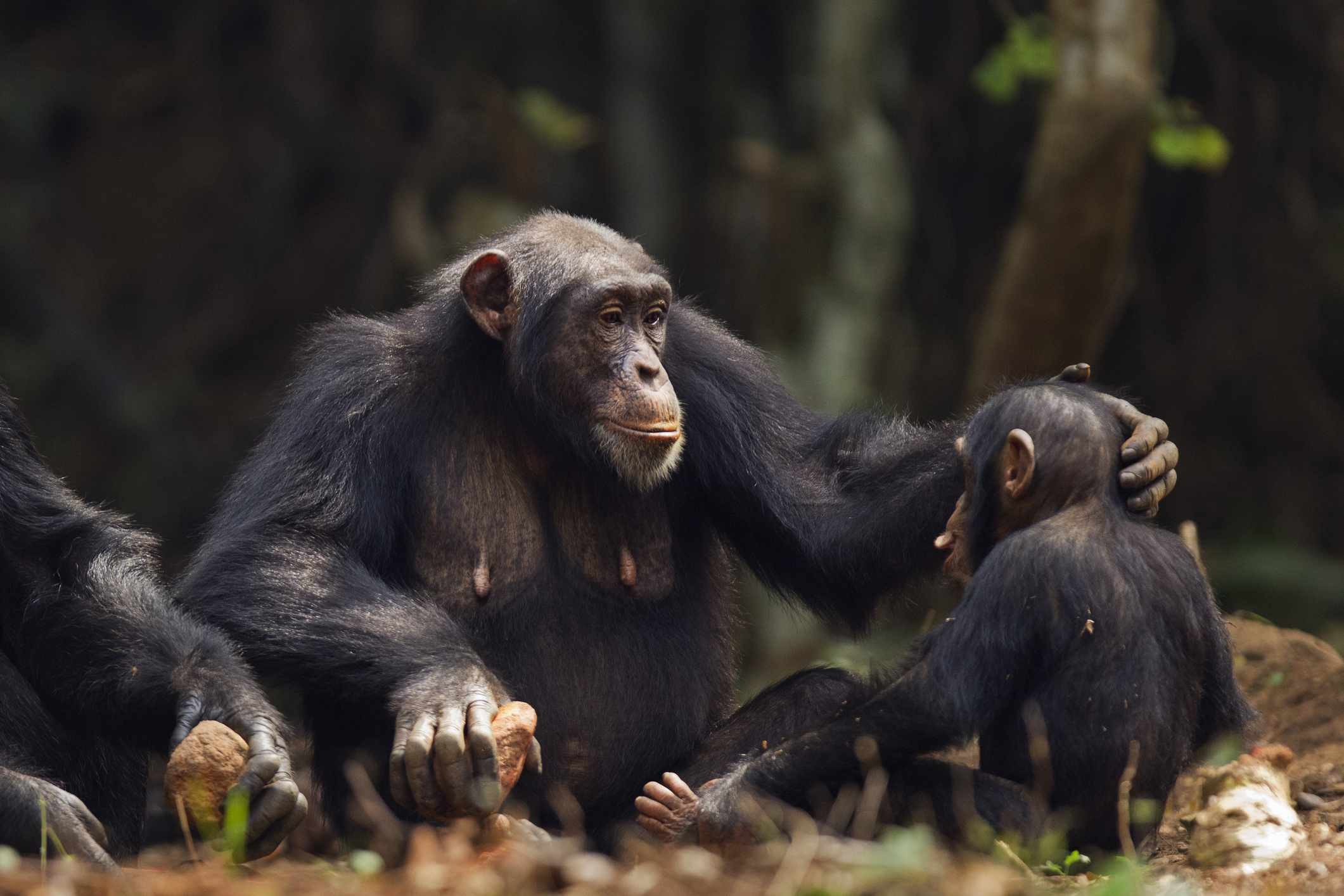 A chimpanzee mother comforting her baby by rubbing his head.