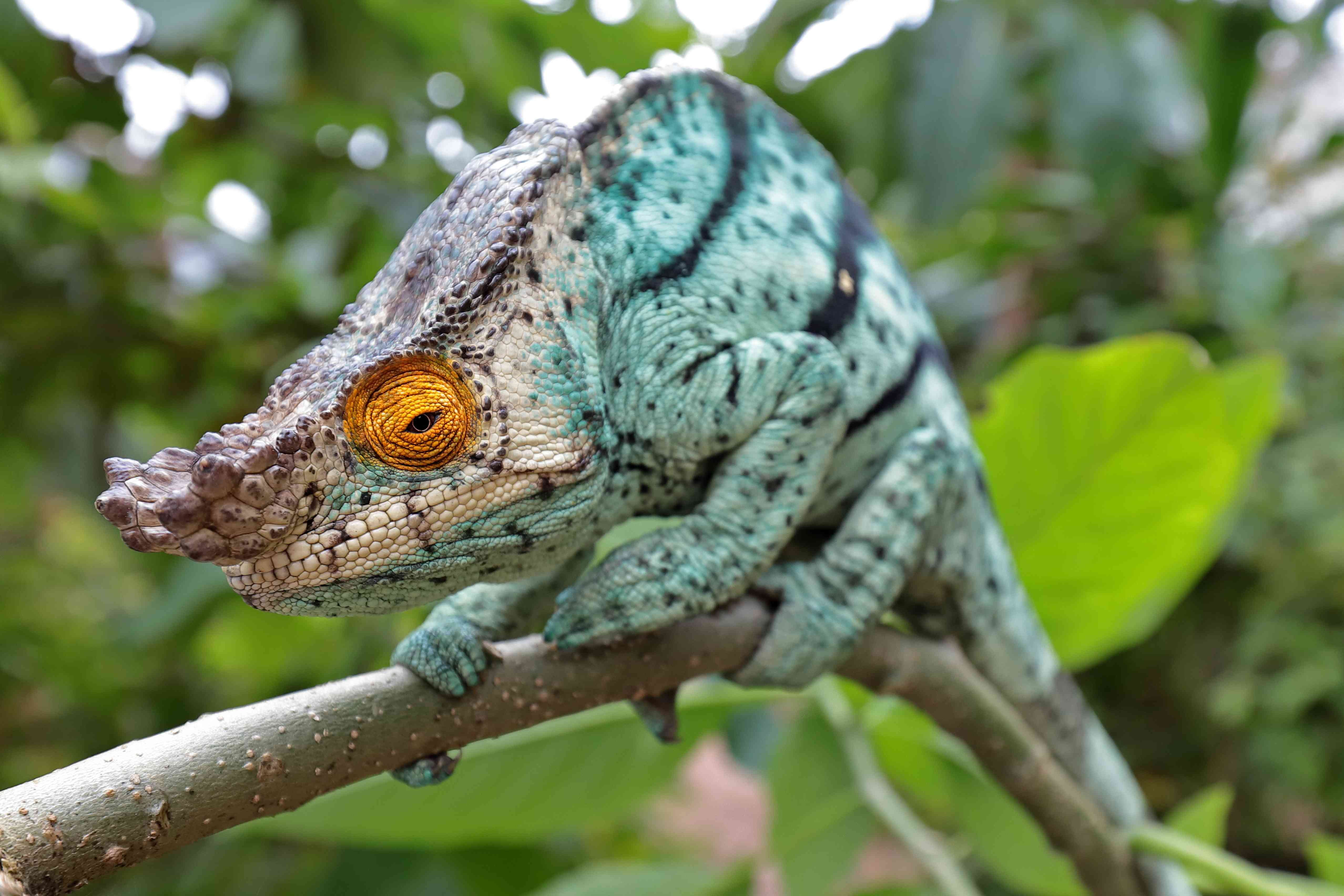 Male Parson's Chameleon