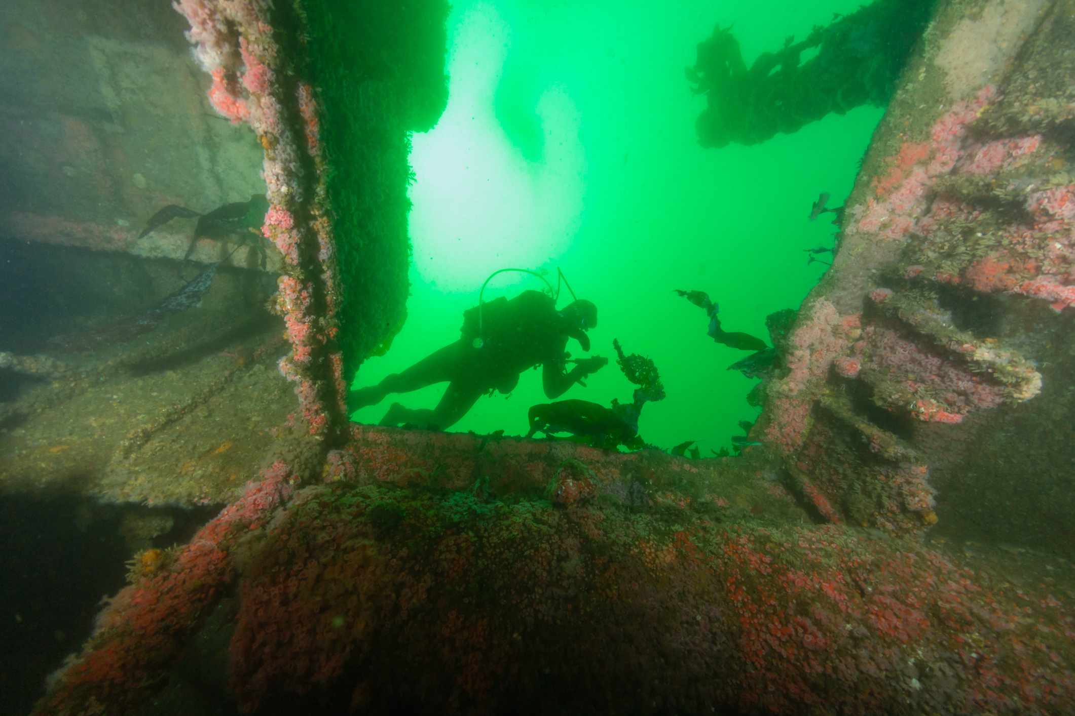 View from below looking up at divers floating over the interior of the wreck Ruby E in San Diego, California