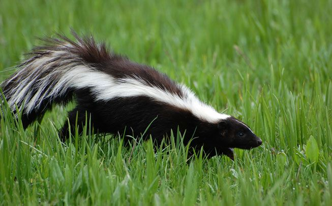A skunk walks through the grass
