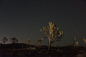 Joshua trees lit up against the night sky