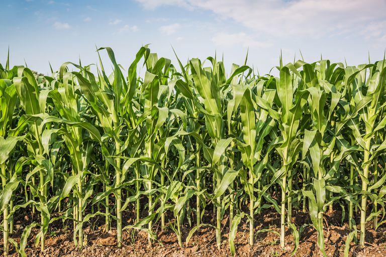 ¿Qué es la 'Ley de protección de Monsanto'?