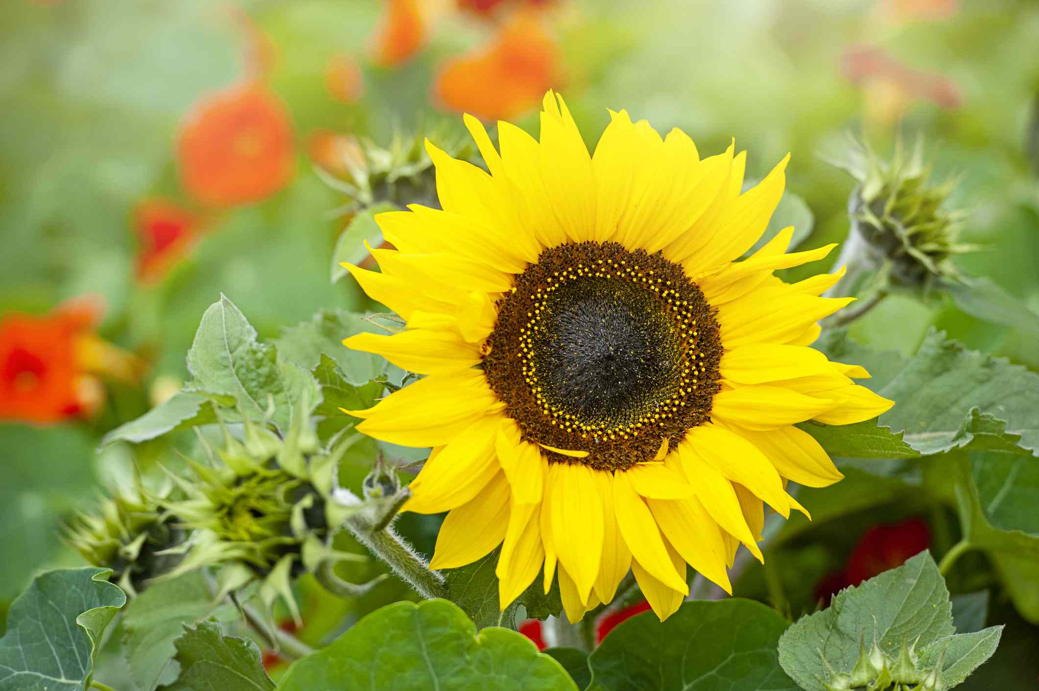 Sunflower with other flowers out of focus