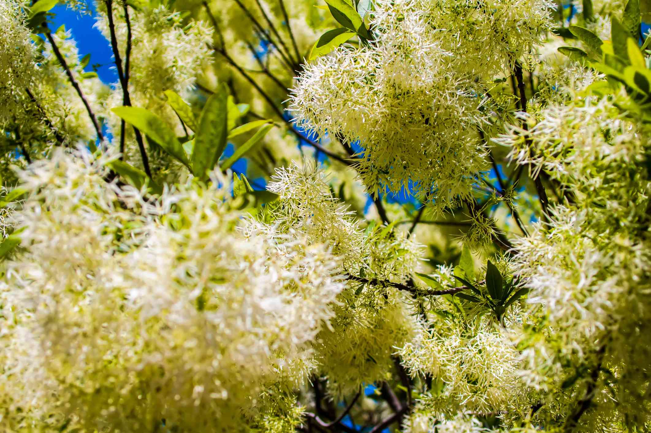 White flowers on a Chionanthus virginicus.