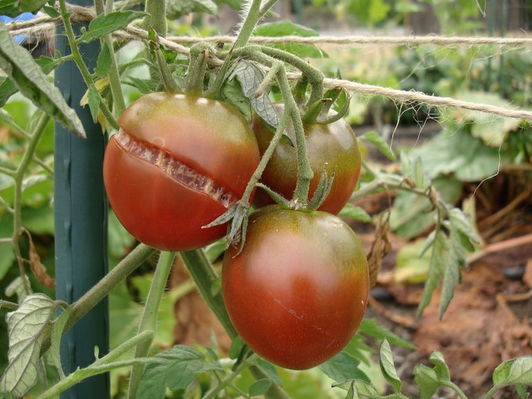 Three tomatoes, one of them cracked, growing on the vine