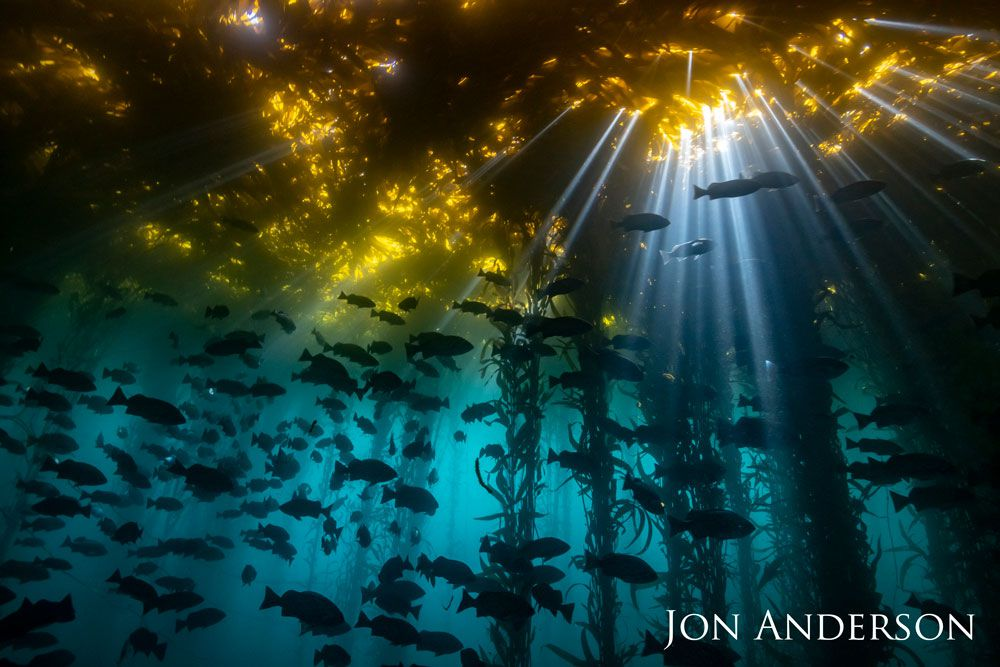 Sunbeams penetrate kelp forest