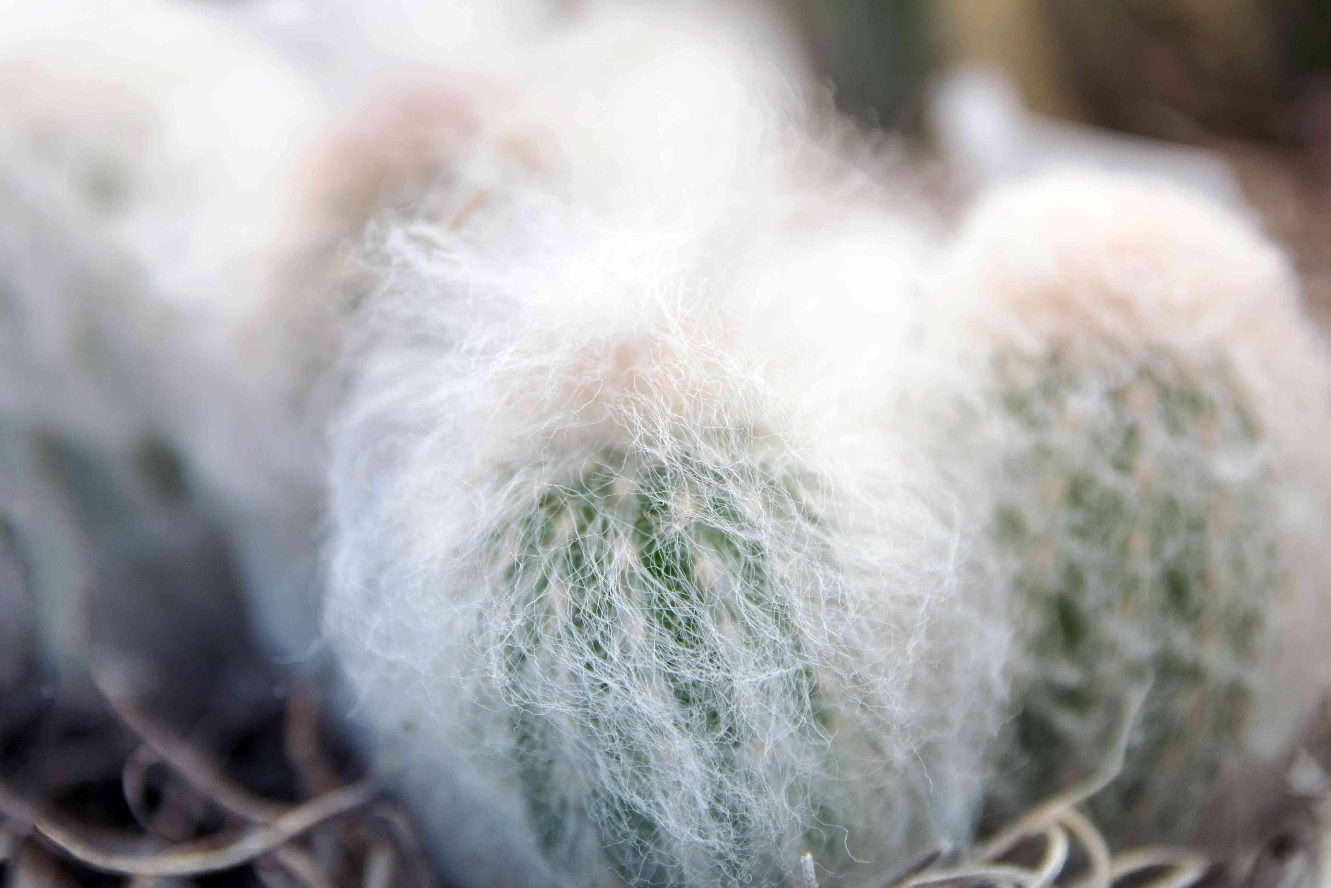 Mammillaria plumosa cactus
