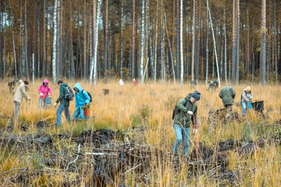A group of people volunteers takes part to planting the pine seedlings. Volunteers restore forest that burned down a few years ago. Shooting at overcast autumn day