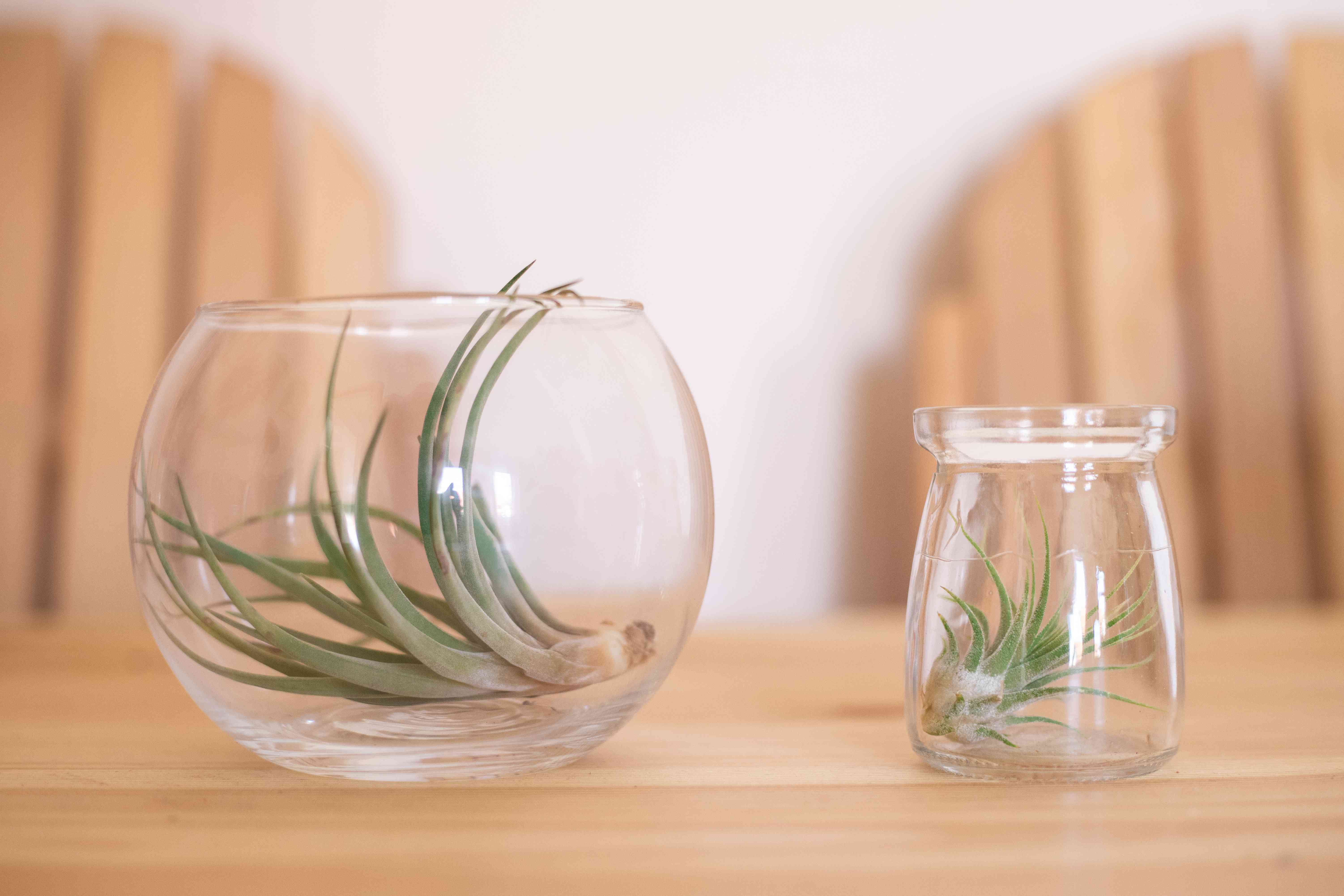 two air plants in glass containers sit on wooden table with Adirondack chairs in background