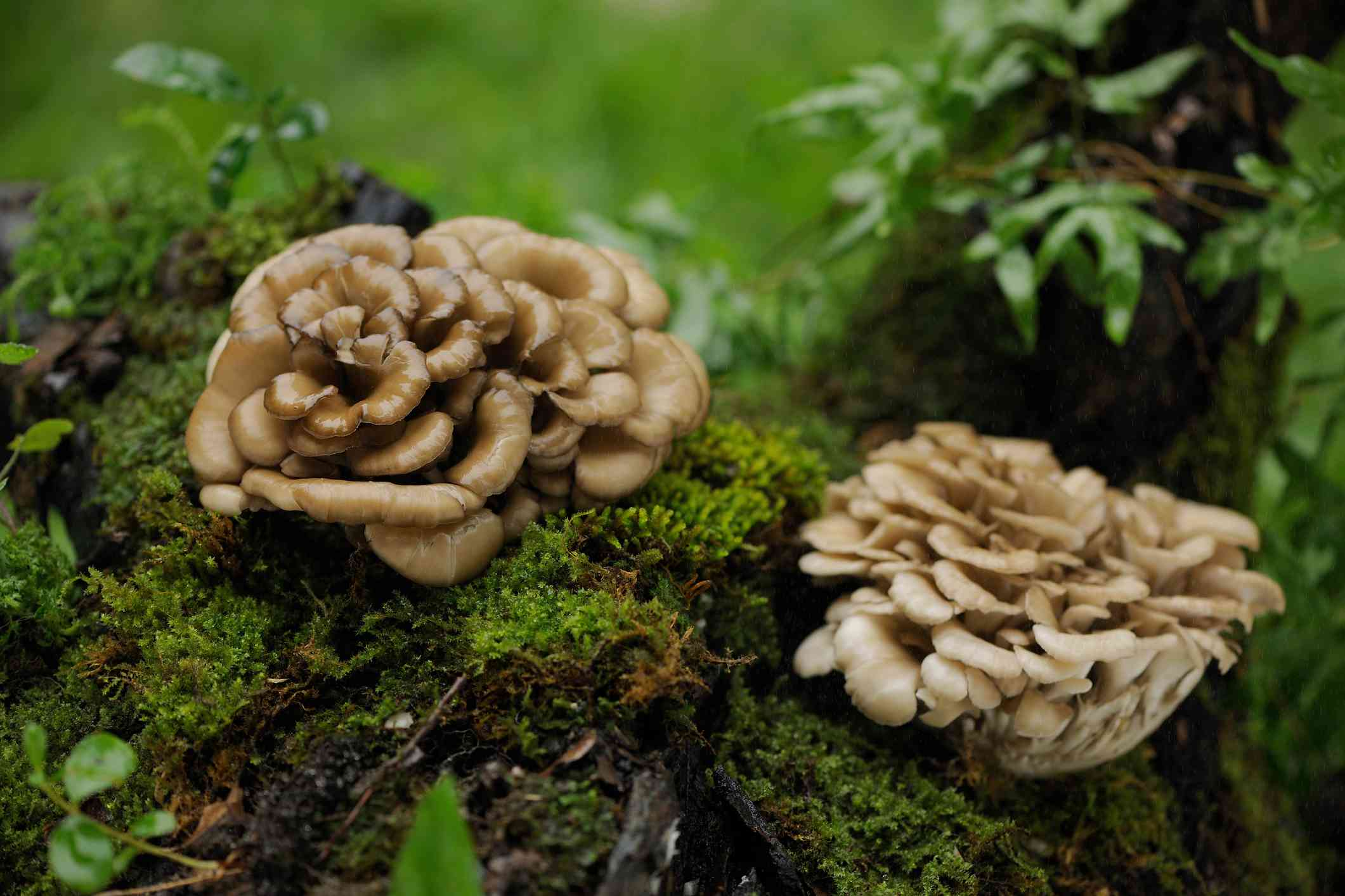 Two maitake mushrooms growing on a mossy log