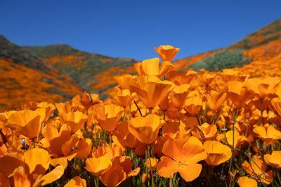California poppy near Lake Elsinore