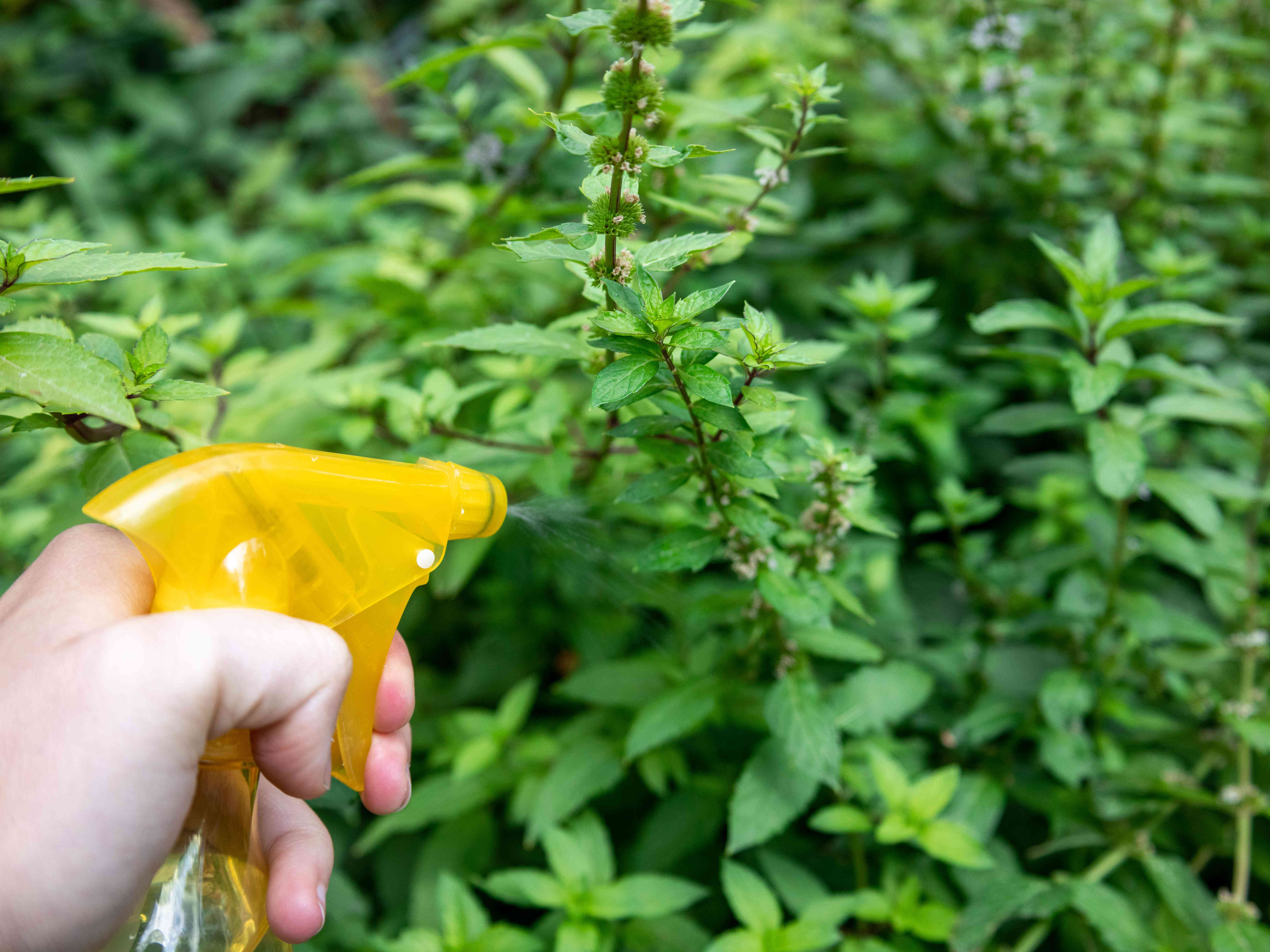 hand uses yellow water spray bottle to keep outside mint moist
