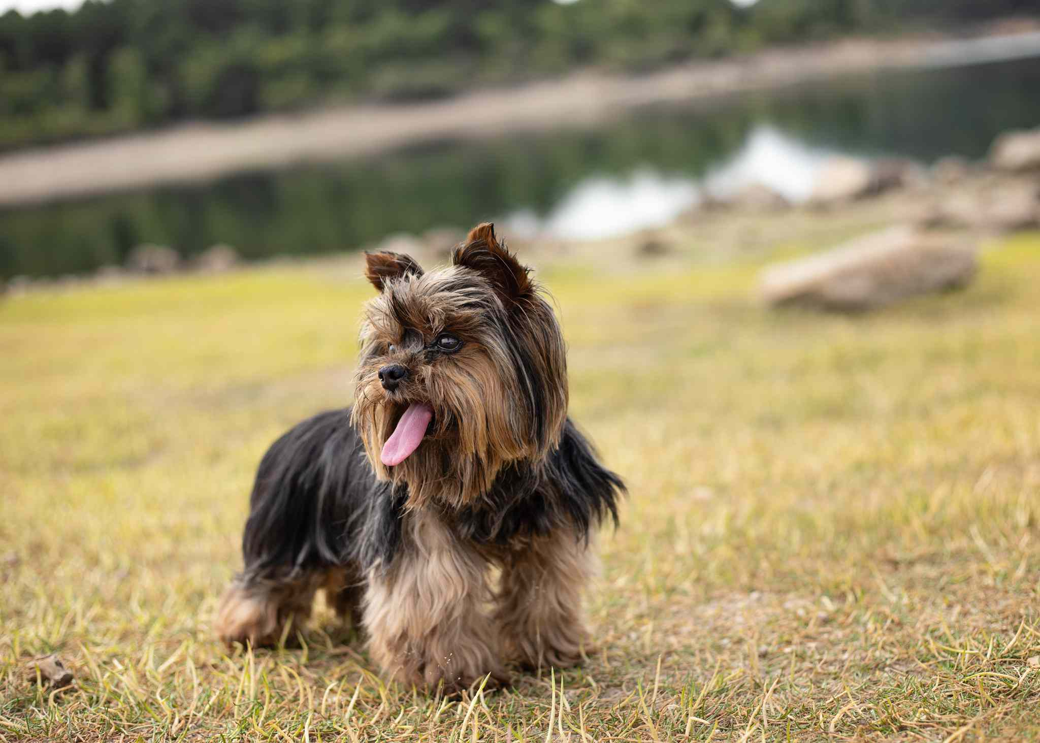 Portrait of yorkshire terrier dog outdoors
