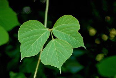 single kudzu leaf on vine, invasive plant you should never compost