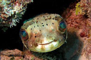 balloonfish