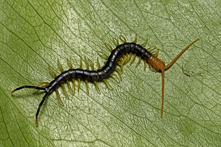 A close up of giant redheaded centipede on a leaf.