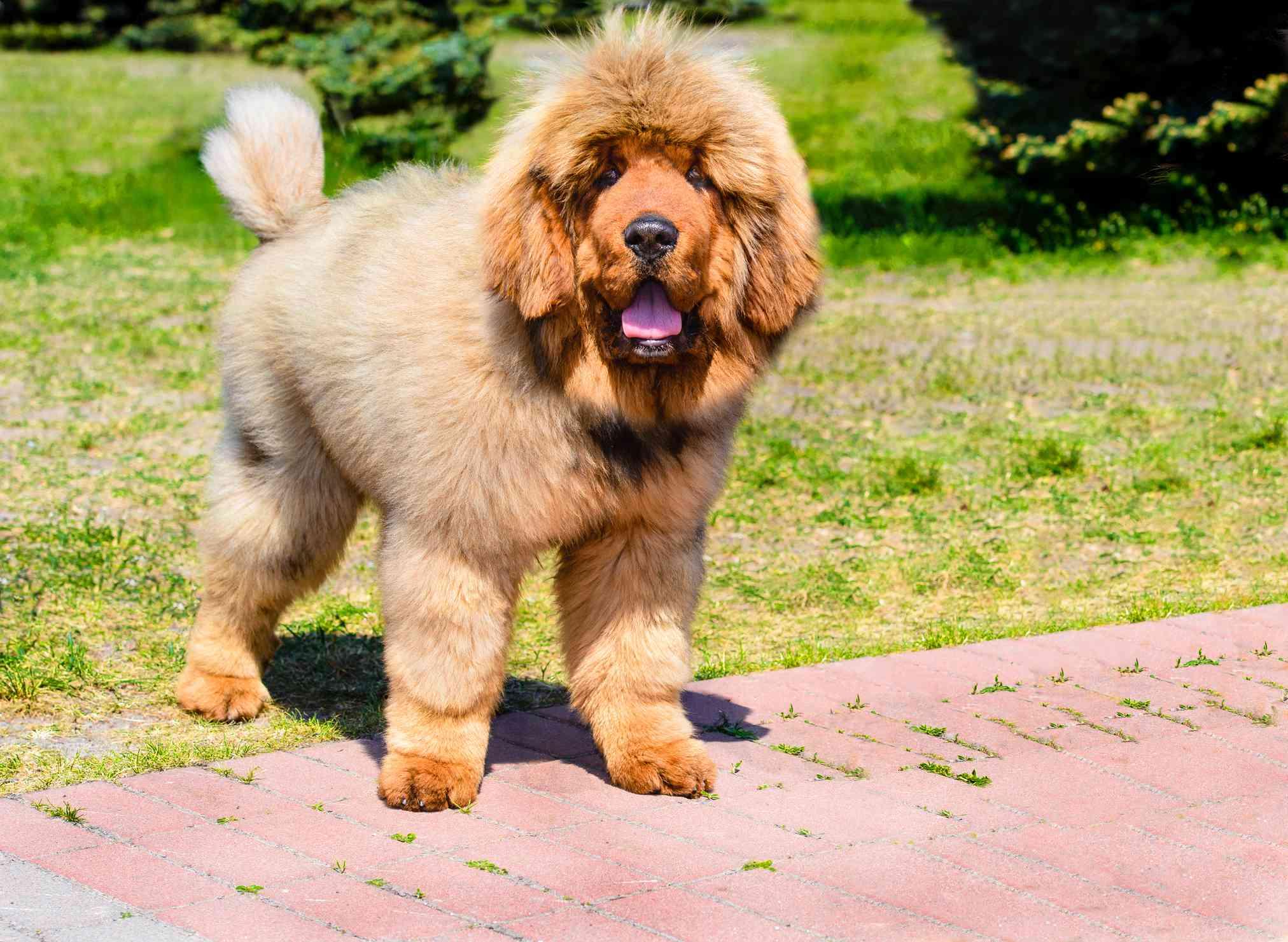 tibetan mastiff puppy with fluffy tan fur stands on brick path in sunlight