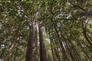 Kauri trees, Waipoua Forest, New Zealand