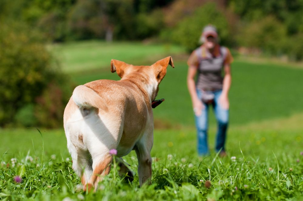 dog running to owner