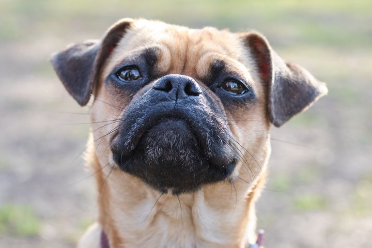 closeup of pug stares into camera with puzzling expression