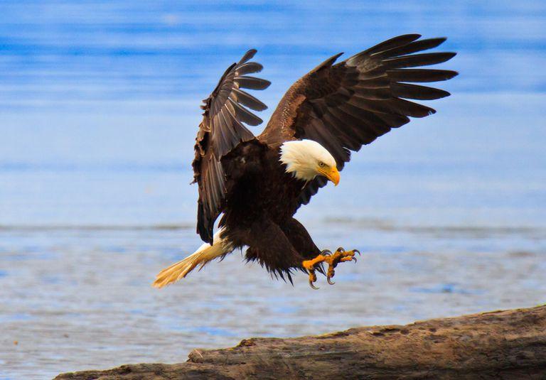 Perfect landing, bald eagle, Alaska