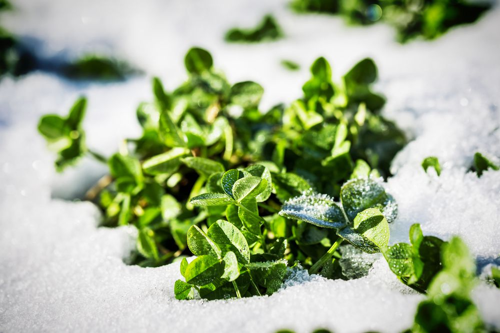 green clover covered in snow