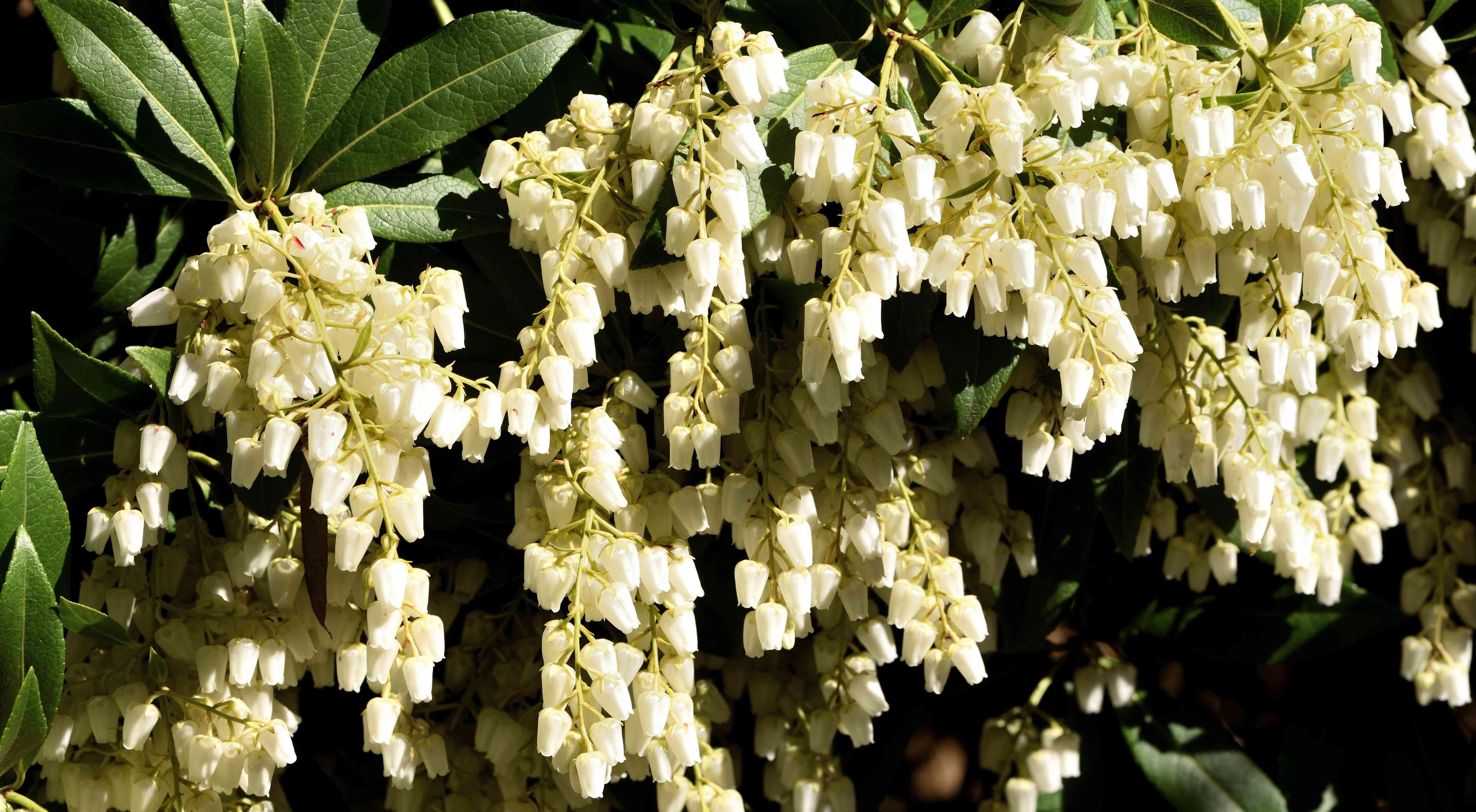 White Pieris flowers