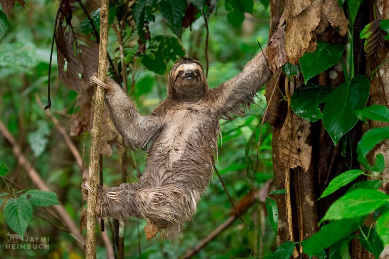 three-toed sloth climbing in a tree