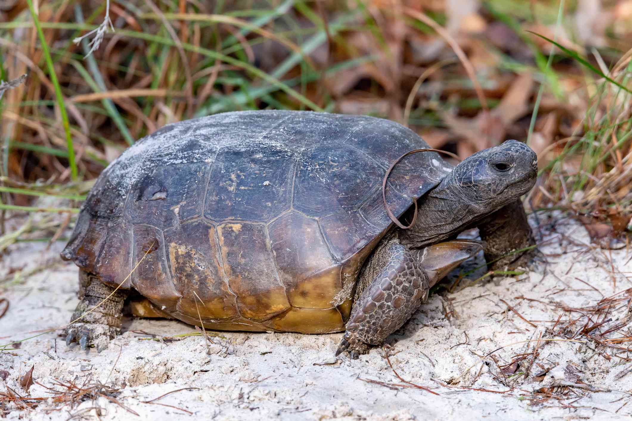 a Gopher tortoise with its head outstretched sitting on white sand near green plants