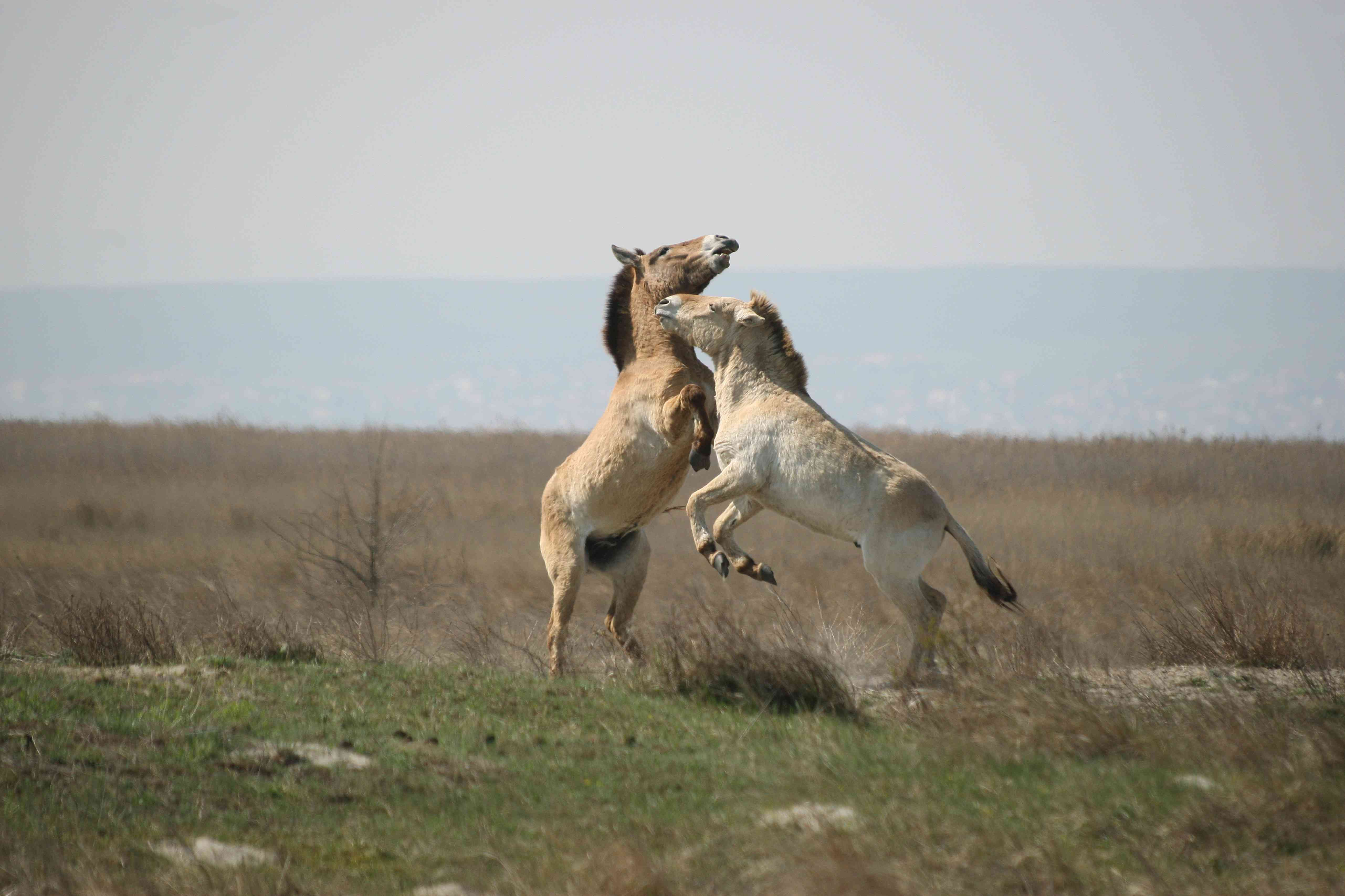 Two young Przewalski's horse stallions playing in the steppes of central Asia
