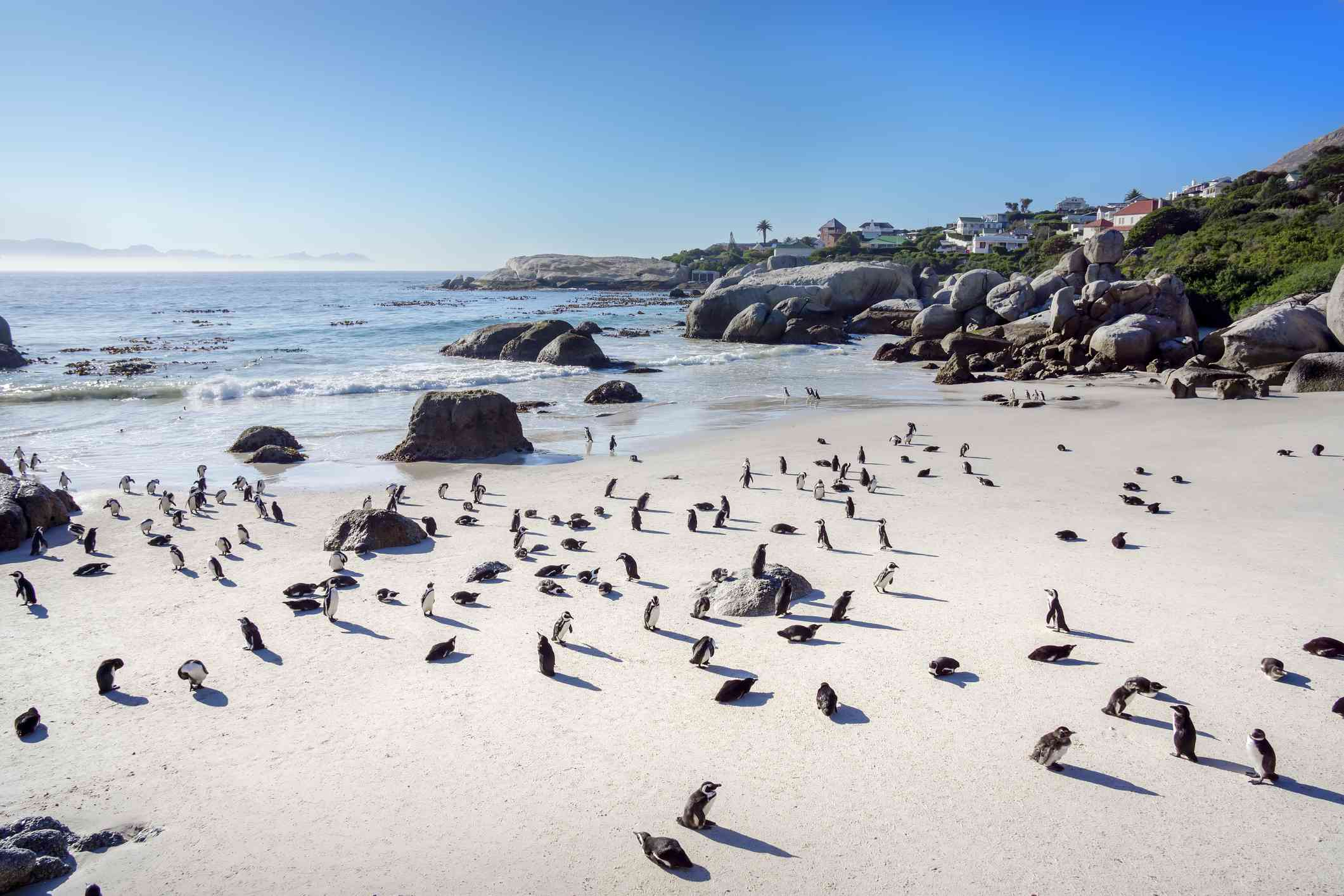 A colony of penguins on a white sandy beach with houses in the background