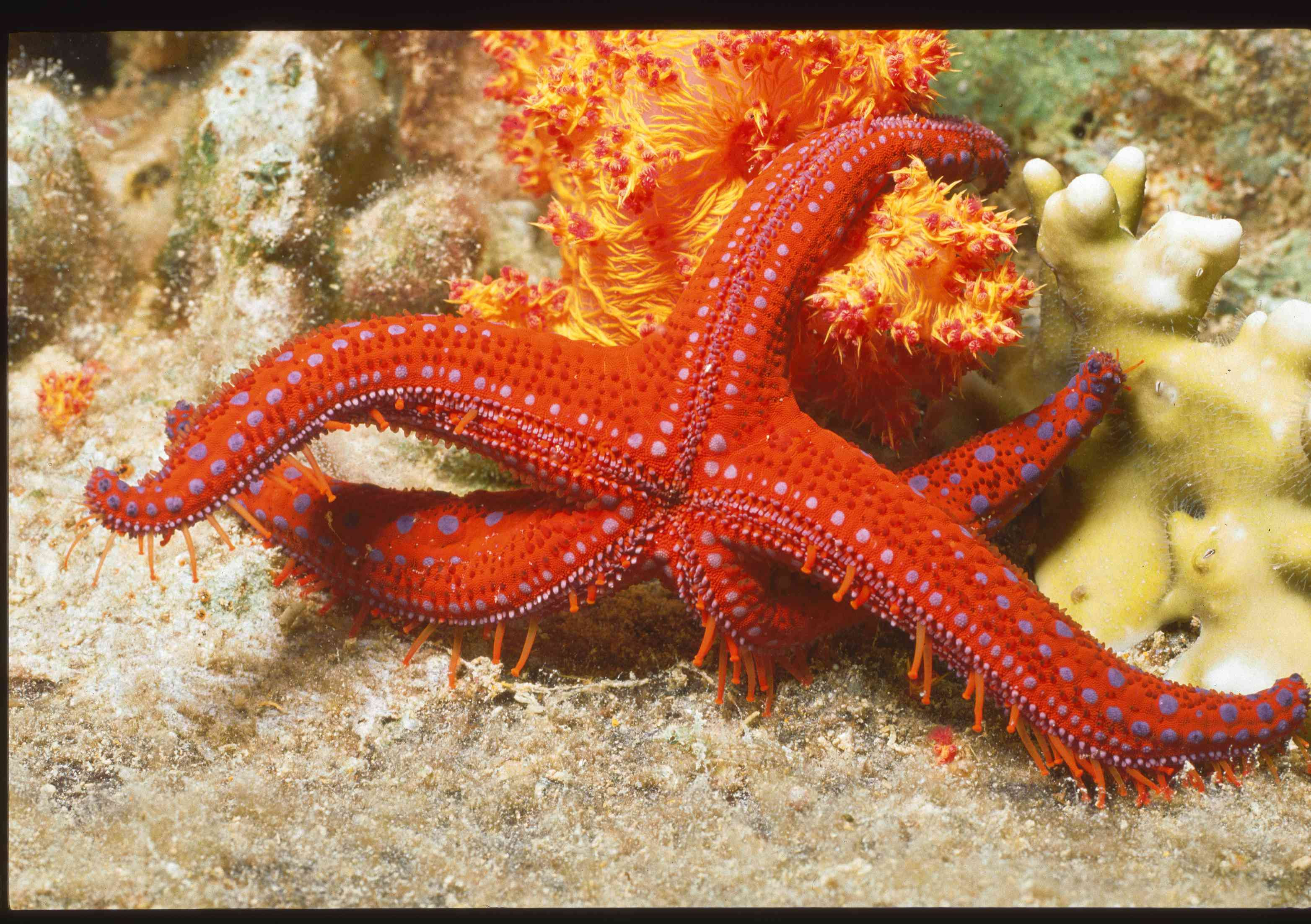 A red sea star attached to a reef underwater.