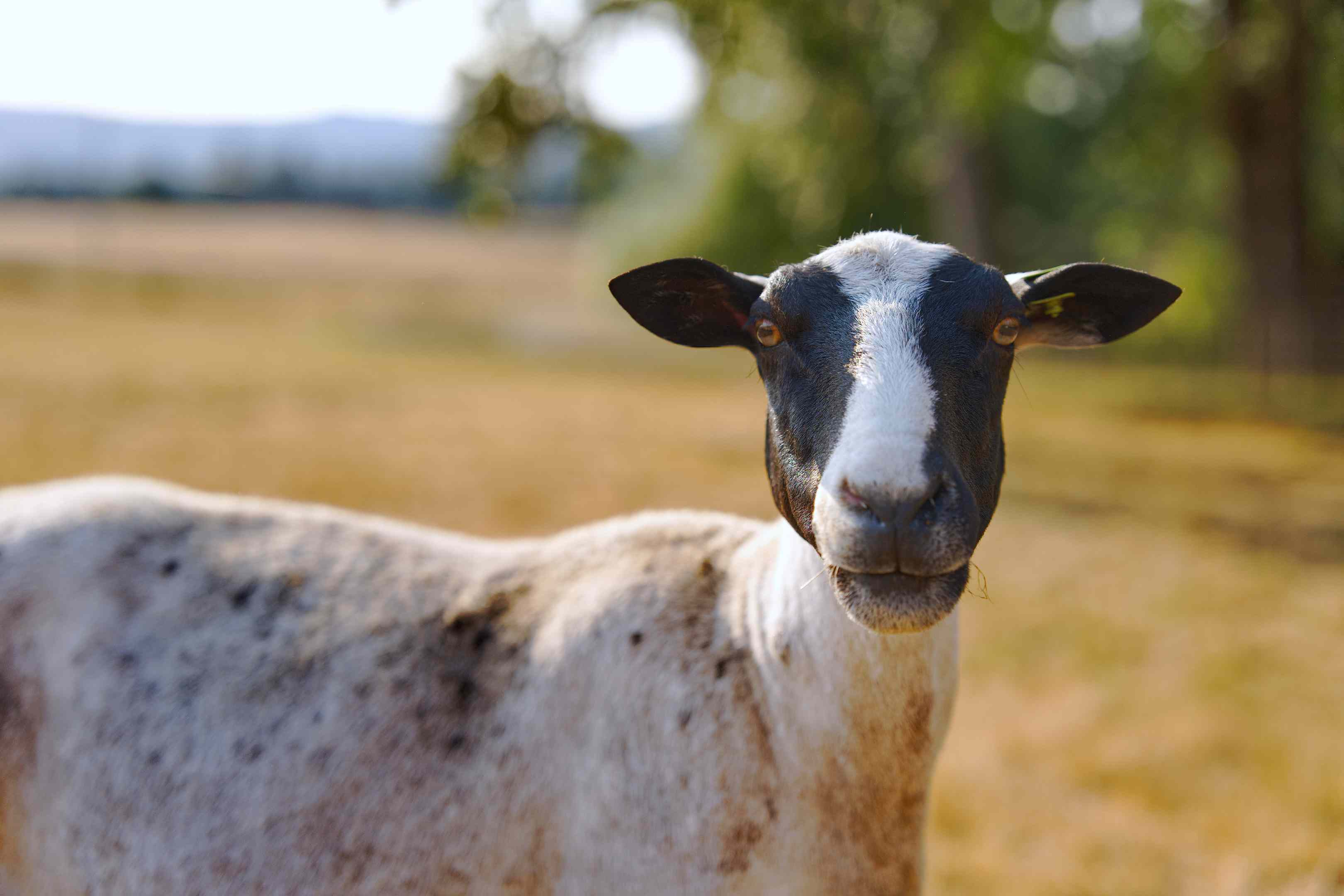 black and white sheep on farm looks directly into camera