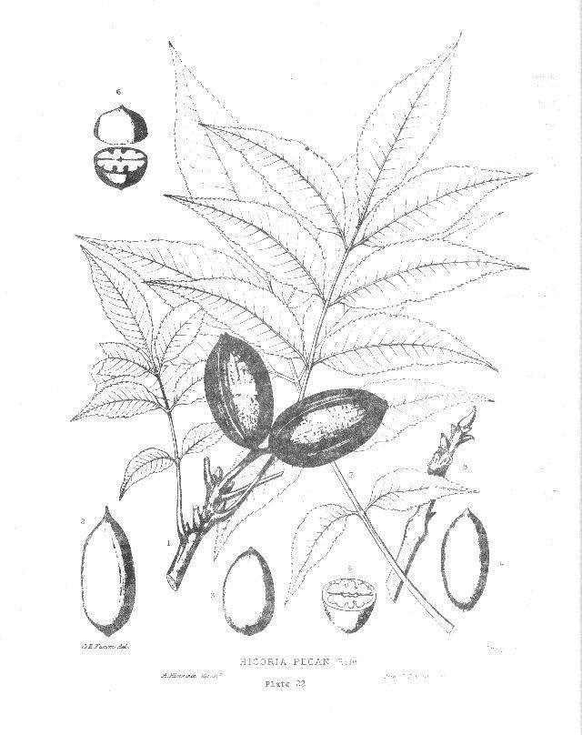Pecan, Carya illinoensis