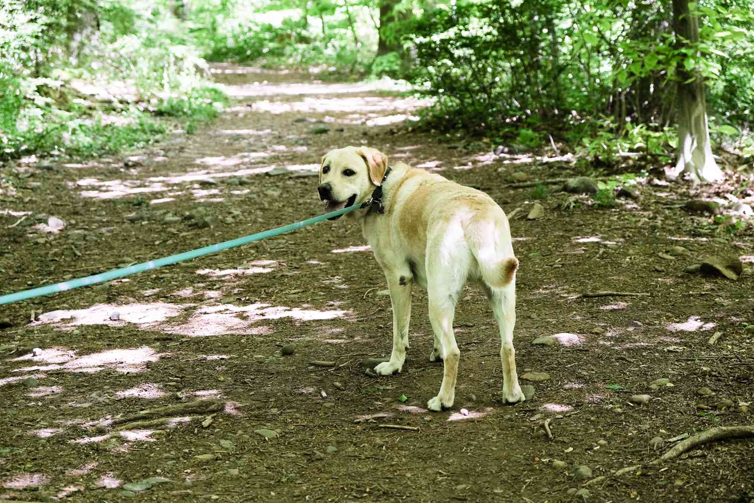 yellow lab dog on blue leash turns back in woods to look at owner