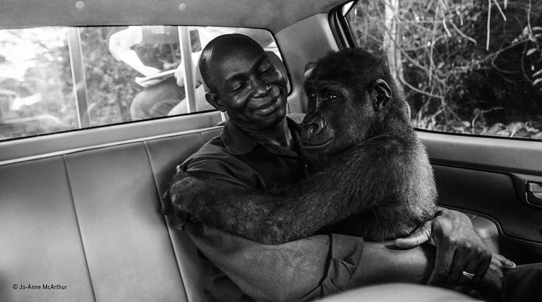 Black and white photo of a gorilla and his human caretaker in the back seat of a car