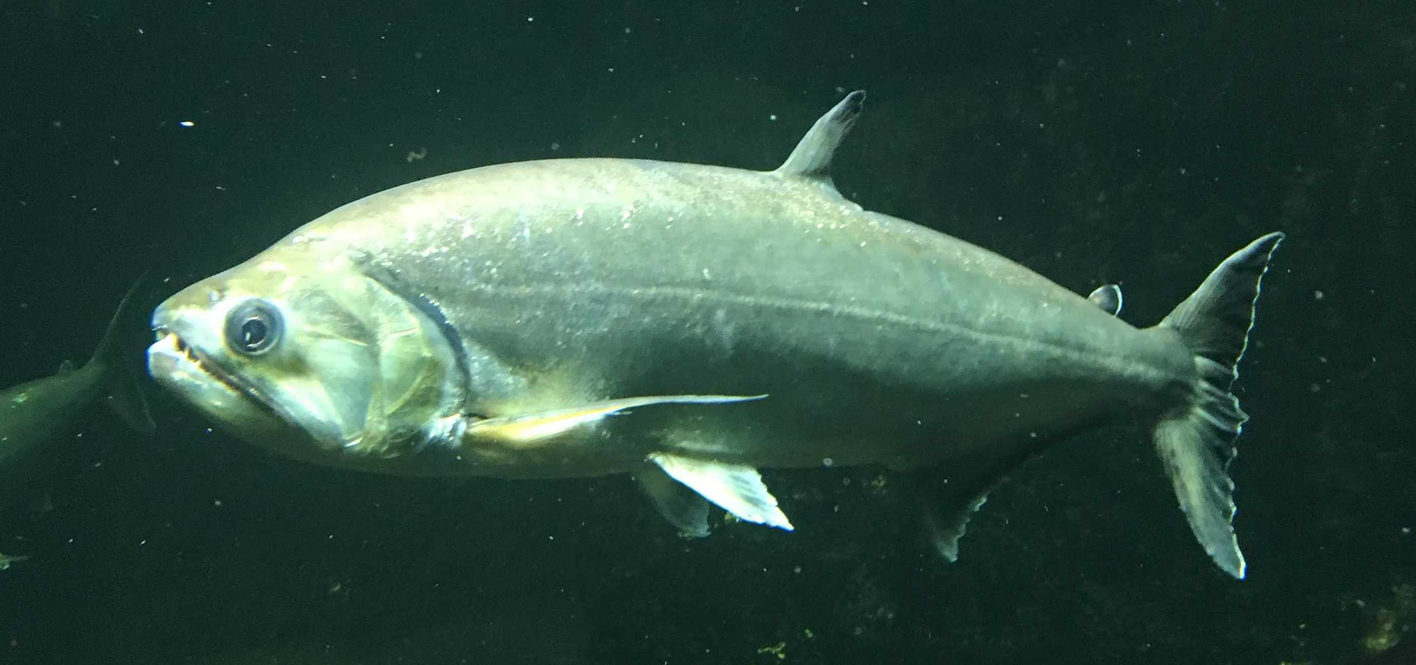 Hydrolycus armatus fish underwater