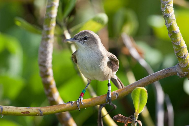 millerbird perched in a tree