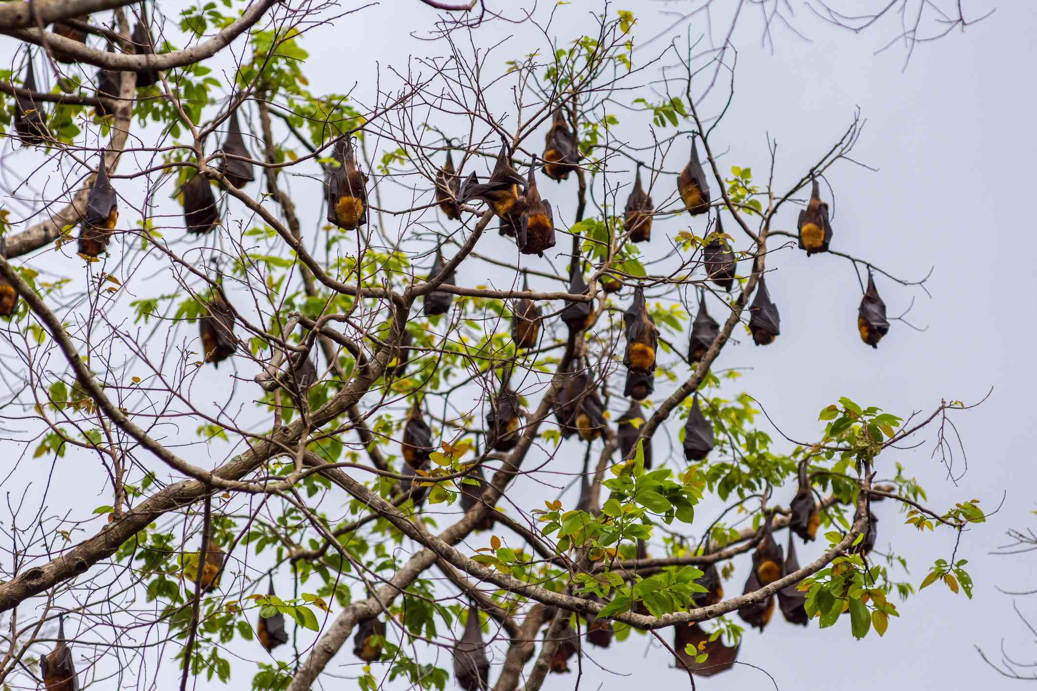 A tree full of roosting flying foxes hanging upside down on the brances.