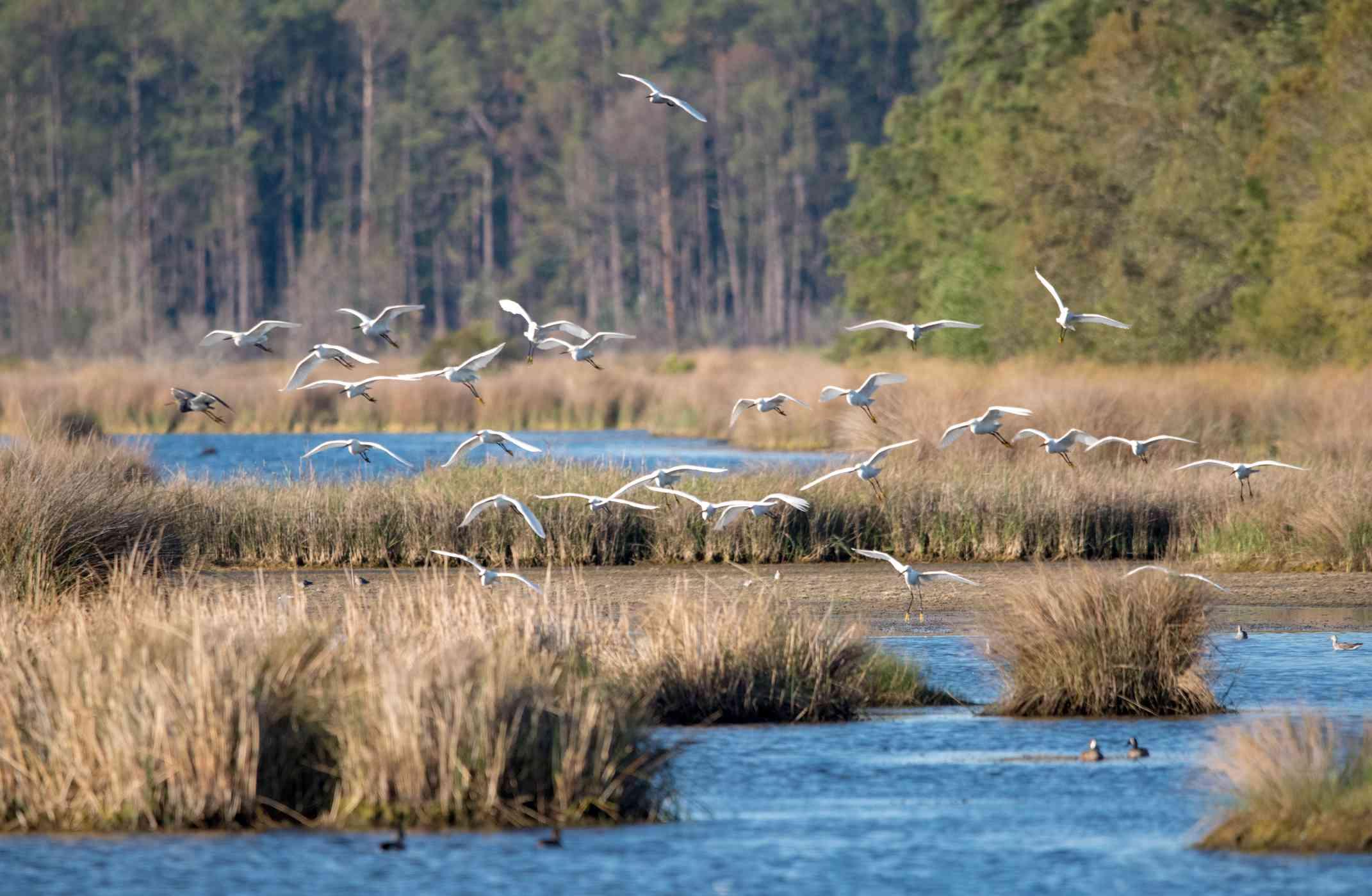 White birds flying over a marsh.