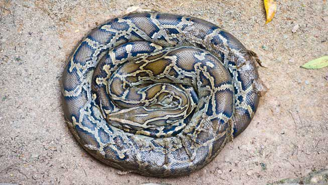A boa curled up in a perfect circle, asleep on the ground.